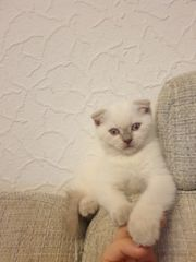 scottish fold mix