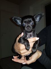 Wunderschöne Chihuahuawelpen
