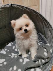 Schneeflöckchen - Pomeranian 4 Monate alt