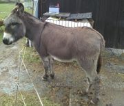 Esel Wallach zu verkaufen