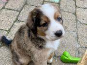 Australian Shepard Mix Hundewelpen