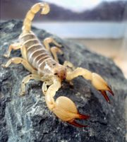 0 0 1 scorpio maurus