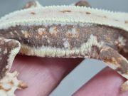 Lilly White Kronengecko C ciliatus