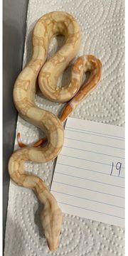 1 0 19 Boa Constrictor