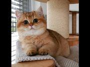 Bkh kitten SUCHE