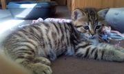 Tabby-Point BkH-Katzen suchen ein neues