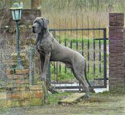 Deutsche Dogge 18 Monate jung