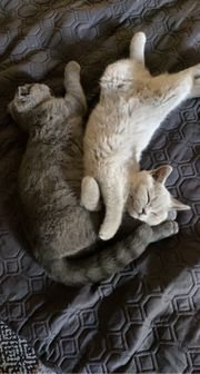Britisch Kurzhaar Kätzchen 4 Monate