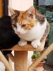 EKH Kätzchen