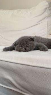 Scottish Fold Katze Grau männlich
