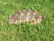 Weibliche Landschildkröten - Testudo graeca u