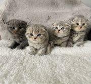 Reinrassige BKH-Kitten
