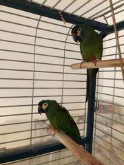 Rotrückenara-Paar männlich und weiblich