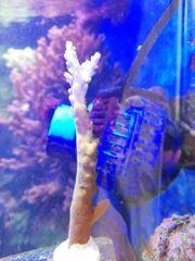 Meerwasser Acropora sps Steinkoralle