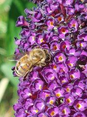 Schmetterlingsflieder Bienenfreundlich Ableger Steckling