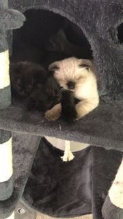 Perser-Mix Kitten ab sofort