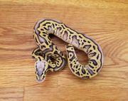 0 1 Super Pastel Leopard