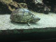 Moschus-Schildkröte in gute Hände abzugeben