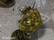 Noch 10 Junge Insularum Maculata
