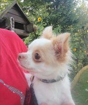 Chihuahua Mädchen mit Ahnentafel lang