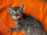 Bengal Kitten Kater Silber Charcoal