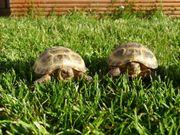 Vierzehenschildkröten