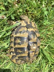 Weibl Griechische Landschildkröte Mila sucht