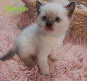 Himalaya Kitten
