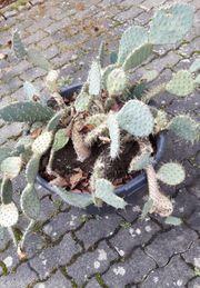 Kaktus von Sizilien