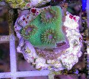Meerwasser Korallen SPS LPS Zoas