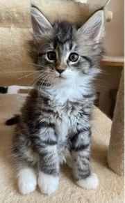 reinrassige Norwegische Waldkatzen Kitten