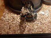 boa constrictor Imperator adult 0