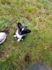 Wunderschöne Chihuahua Prager Rattler mix