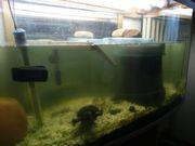 Gewöhnliche Wasserschildkröte mit Auquarium an