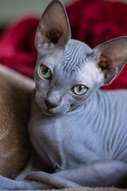 Suche sphynx Katze