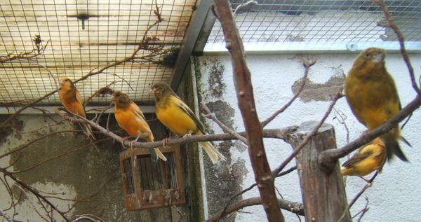 5 kanarienvögel