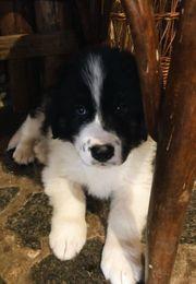 Pinto 3 M Hirtenhund Karakatschan