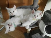 3 Maine Coon Kater in
