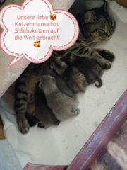 Britische katzenbabys