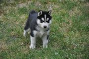 Siberian Husky Welpen schon