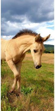Mustang Hengst Fohlen