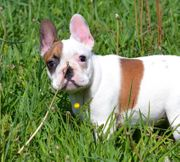 Französische Bulldogge - French Bulldog Rüde