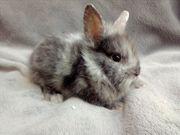 Original Löwenkopf Kaninchen Babys ab