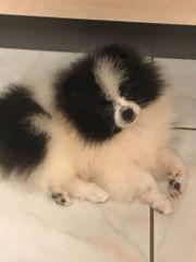 Pomeranian spitz rüde