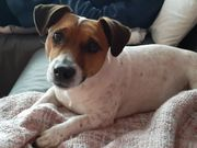 Jack Russell Terrier Deckrüde
