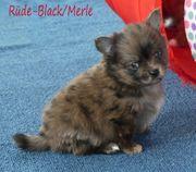 Pomchi Welpen Chihuahua x Pomeranian