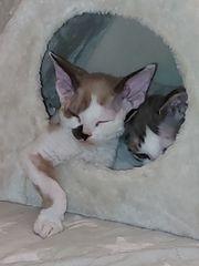 Devon Rex Katze Odin