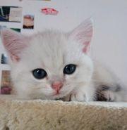 BKH britisch kurzhaar Kätzchen Silver