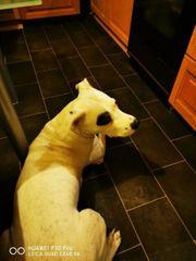 Dogo Argentino rüden