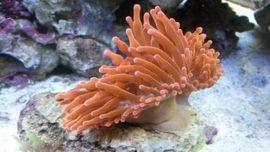 Meerwasser Kupferanemonen 10-15cm
